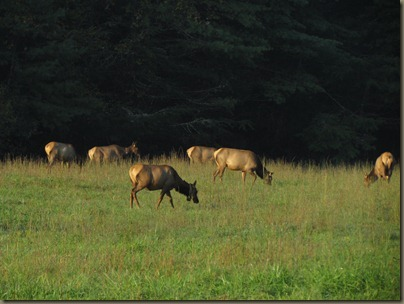 Elk at  Cataloochee Valley