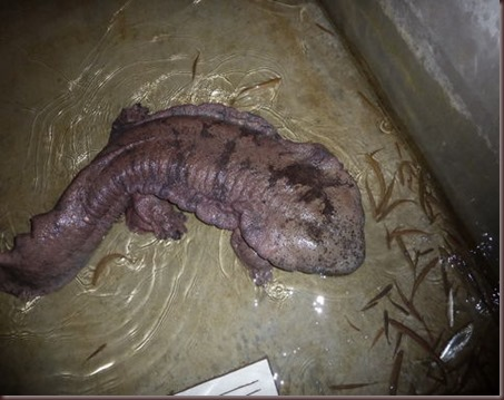 Amazing Animals Pictures Chinese Giant Salamander (9)
