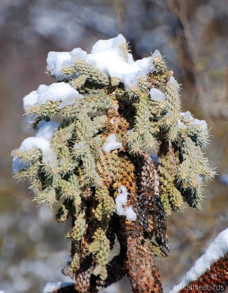 3. cholla snow-kab