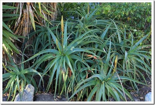 121028_SantaCruz_Aloe-arborescens2