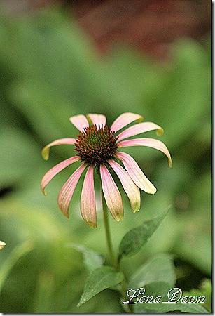 Echinacea_GreenEnvy