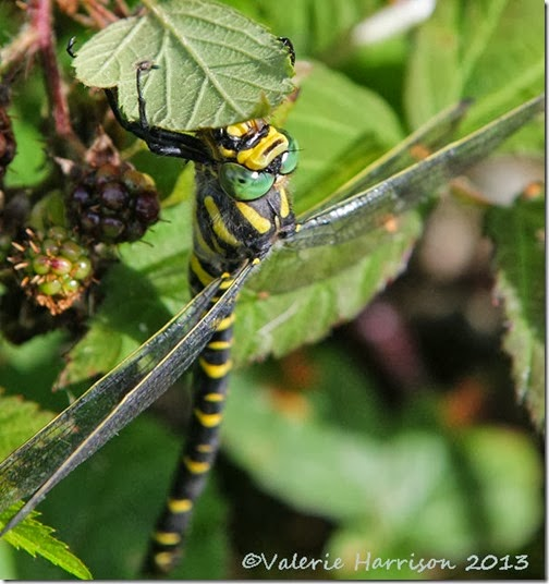 39-golden-ringed-dragonfly