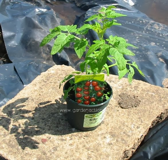 Plant Tomato 1 Mine How To Plant Tomatoes