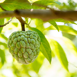 Sugar apple or anon fruit hanging on tree by Roberto Machado Noa - Nature Up Close Gardens & Produce ( plant, juicy, custard, tropical, one, leaf, vegetation, hanging, farm, anon, tree, nature, climate, gourmet, fruit, green, refreshment, agriculture, growing, country, unripe, organic, sweet, food, apple, outdoors, ripe, eating, healthy, branch, freshness, natural, garden, growth, sugar, produce )