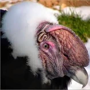 Amazing Pictures of Animals, Photo, Nature, Incredibel, Funny, Zoo, Andean Condor, Vultur gryphus, bird, Alex (16)