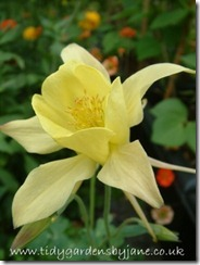 Aquilegia Photo - Copy