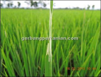 bekas-gerekan-ulat-daun-padi