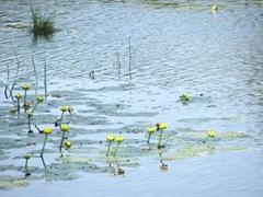 bog stink pot pond lilies3