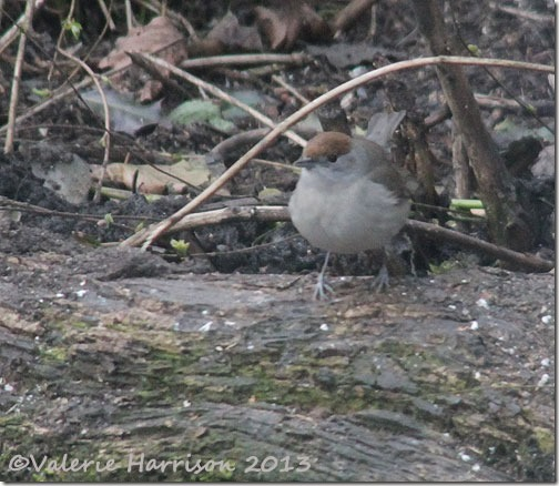 female-blackcap-(2)