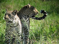Momma leopard and her youngster  - Linyanti Concession (Chobe Region)