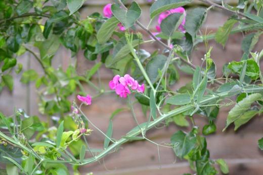 Everlasting Sweet Pea - Perennial Sweet Pea - Lathyrus latifolius