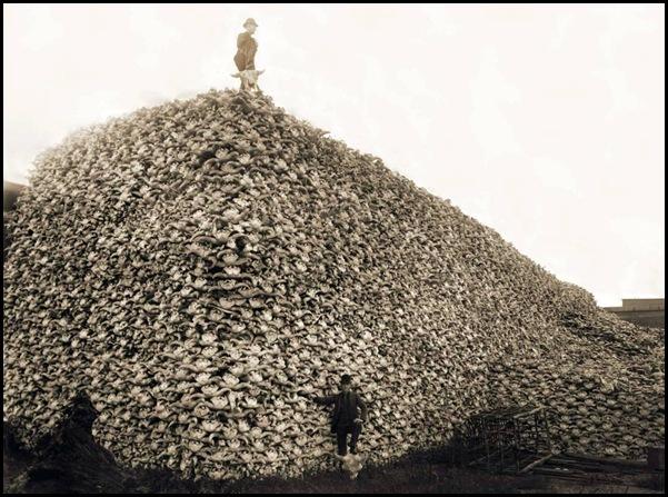 Le massacre des bisons en Amérique-2