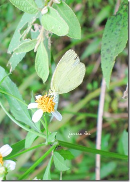 台灣黃蝶2