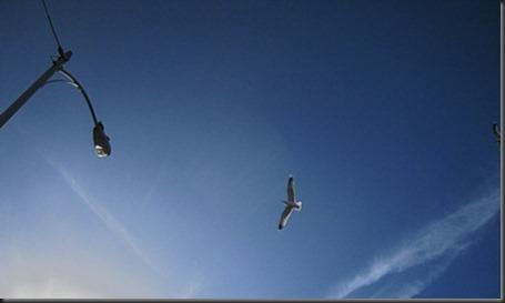 seagull_overhead
