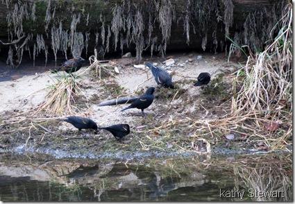Red-wing Blackbirds