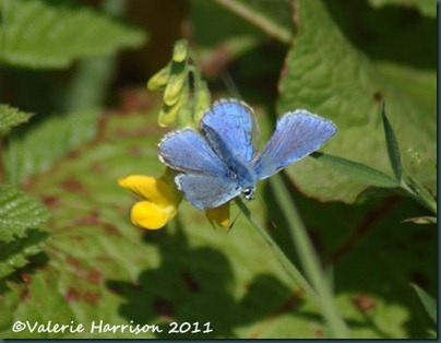 27-common-blue