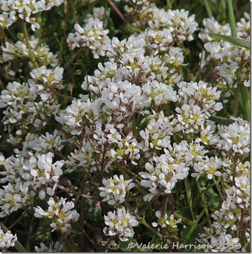 scurvy-grass