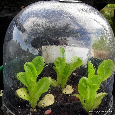 lettuce growing under a bell cloche