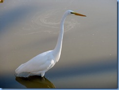 6312 Texas, South Padre Island - Birding and Nature Center guided bird walk - Great Egret