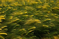 Summer-Barley-9