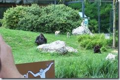 2011.07.26-027 gorilles et patas