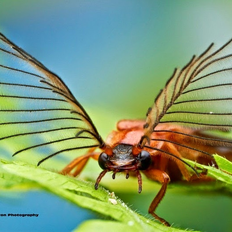 Glowworm Beetles Have The Most Magnificent Antennas Ever