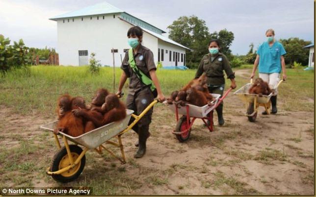 orangutans-2
