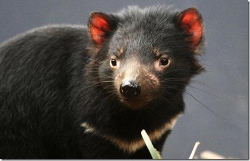 tasmanian-devil
