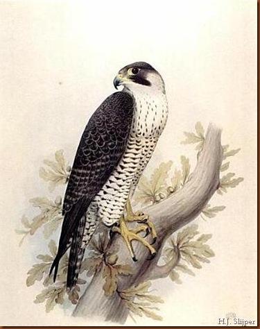 H.J. Slijper. Pèlerin femelle