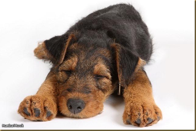 Sleepy terrier