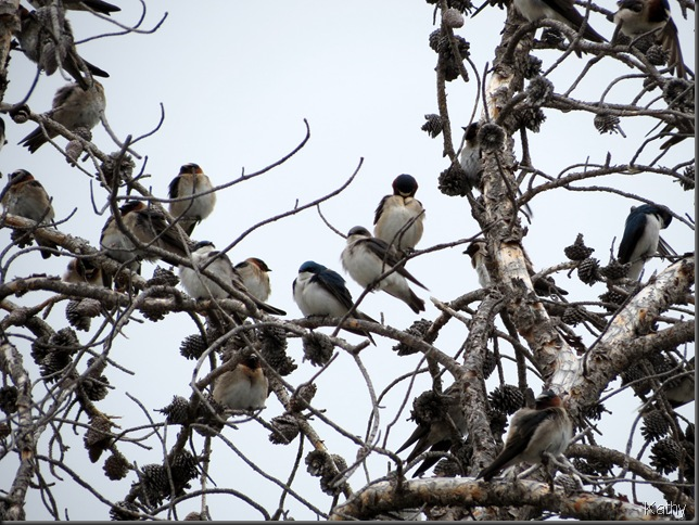 Primarily Cliff swallows