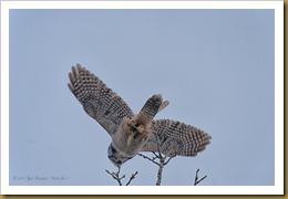 Hawk owl launch ROT_2712