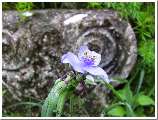 01-15-spiderwort
