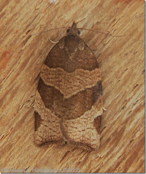 chequered-fruit-tree-tortrix-4