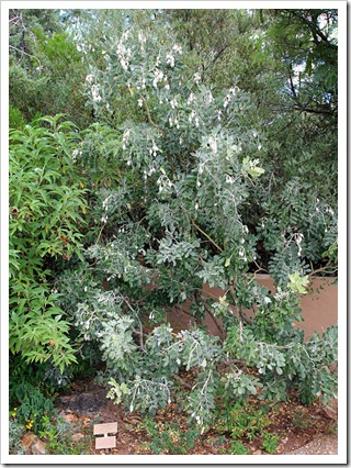 120728_ArizonaSonoraDesertMuseum_Sophora-secundiflora_01
