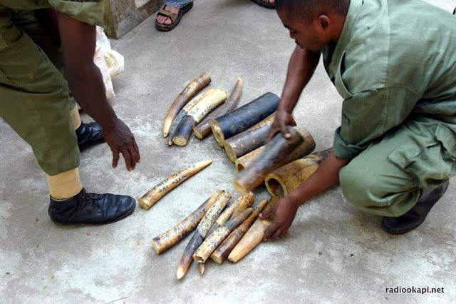 Confiscation d'ivoire dans la réserve de faune à Okapi, 2005.