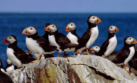 Amazing Pictures of Animals, Photo, Nature, Incredibel, Funny, Zoo, Puffins, Bird, Aves, Alex (14)