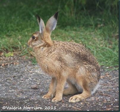hare-2 (2)