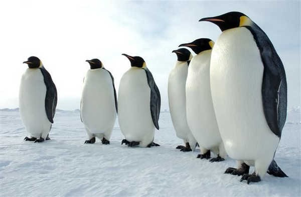 8- Pinguins-imperadores machos