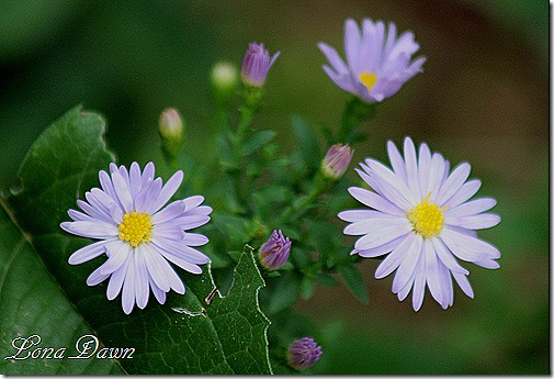 Asters_Purple_Sept11