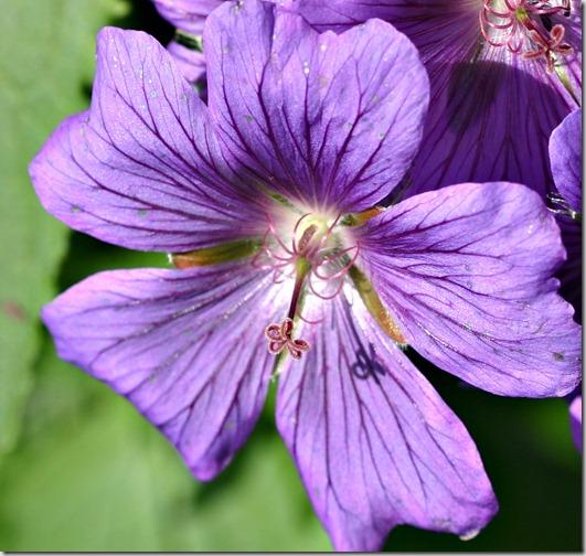 Geranium macro