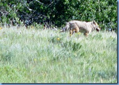 1311 Alberta Red Rock Parkway - Waterton Lakes National Park - a coyote