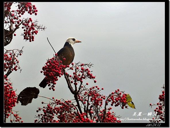 白頭鶇(2012-01-24大雪山林道)2608