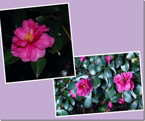 camellia mauve