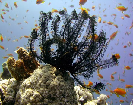 Amazing Pictures of Animals, Photo, Nature, Incredibel, Funny, Zoo, Crinoid, Lamprometra palmata, Alex (3)