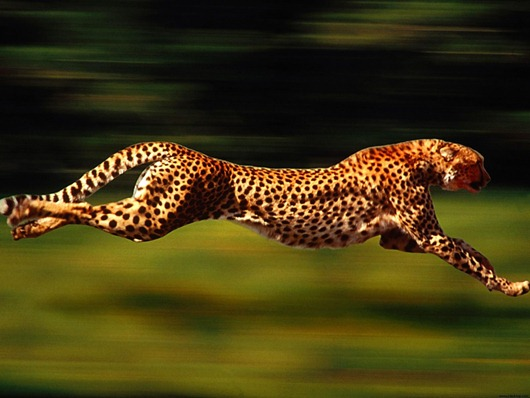 Cheetah-Running-Speed-Animal-1920x2560