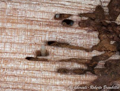 10-2014-02-20_larva Aegosoma scabricorne_Varenna (87)