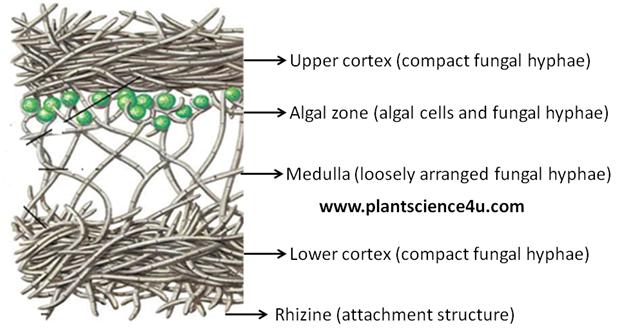 heteromerous thallus structure