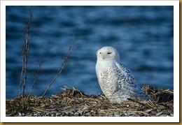 - Snowy Owl D7K_9384 November 25, 2011 NIKON D7000