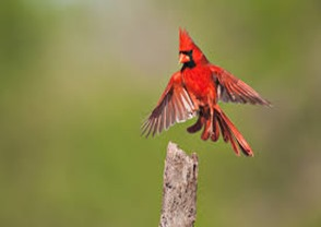 Amazing Pictures of Animals,photo, Nature, exotic, funny, incredibel, Zoo, Northern Cardinal, (Cardinalis cardinalis), Bird, Aves, Alex (14)